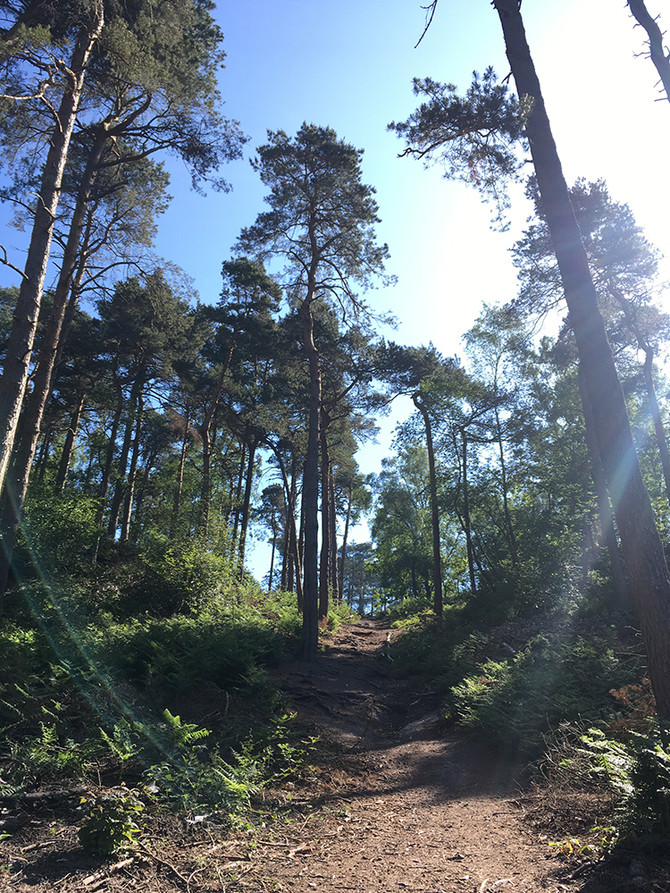 Path through a pine forest on a sunny day