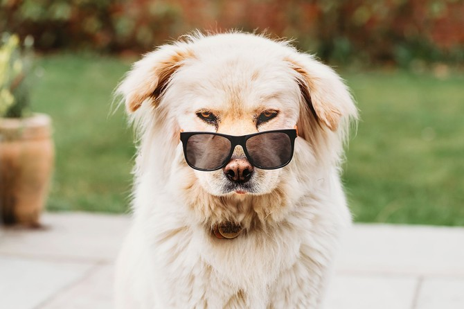 Nerys, the fluffy blonde dog, is looking at the camera and wearing sunglasses perched on the end of her nose