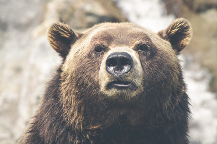 Close-up of a bear's face